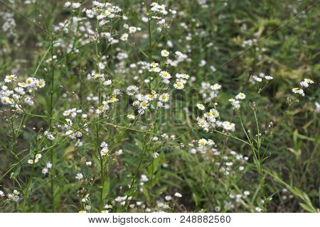 Thickets Of Daisies. Delicate Flowers With A Yellow Center, Surrounded By Thin White Petals, In The