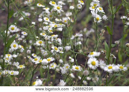 Lush Flowering Of Chamomile, Creating Light Spring Background