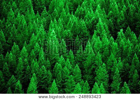 Pine forest in wilderness mountains pine trees new growth