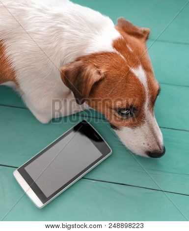 Close-up Portrait Of Sad Cute Dog Jack Russell Lying On Green Blue Wooden Floor Next To Mobile Phone