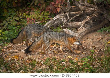 Pair Of Grey Fox (urocyon Cinereoargenteus) Walks Right - Captive Animals