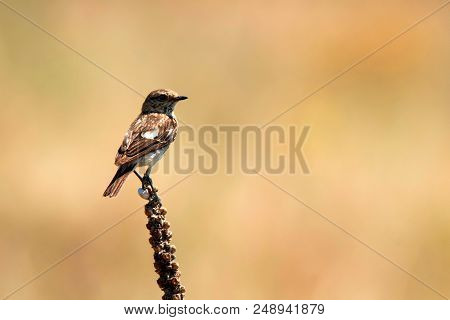 Female Europian Stonechat Or Saxicola Rubicola Is Pearching On Twig