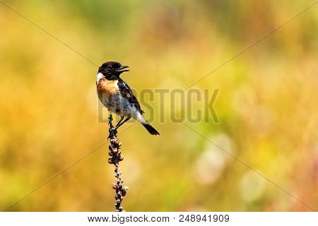 Male Europian Stonechat Or Saxicola Rubicola Is Pearching On Twig