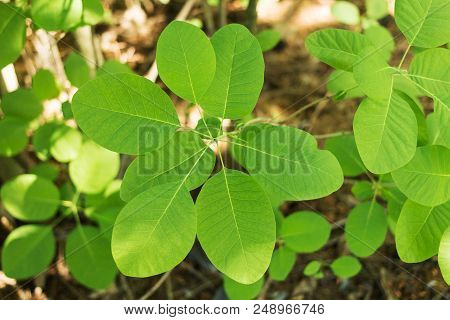 Leather Cotinus Decorative Shrub Young Plant. Background