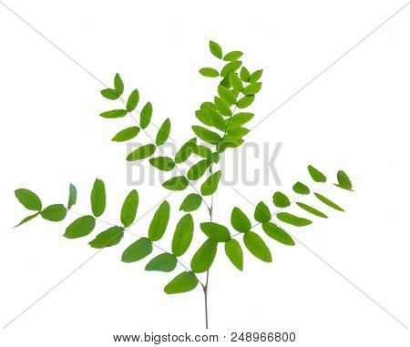 Acacia Branch With Green Leaves Isolated On White Background