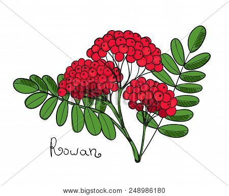 Red Rowan Tree. Isolated Twig Of Rowanberry Or Ashberry. Leaves And Cluster Of Sorbus Berry. Brunch