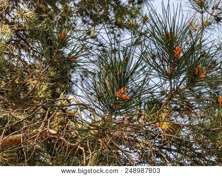 Beautiful Old Conifer In The Park. Close Up  View Of Spruce Cone And Pine Needles.