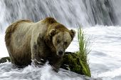 A large adult Alaskan brown bear standing near a waterfall and rapids looking for salmon in Katmai National Park. poster