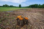 Stumps of valuable alder trees deforestation against a background of meadow and deciduous forest. Cutting valuable species of trees under the pretext of sanitary cleaning the forest. Ukraine. Europe. poster