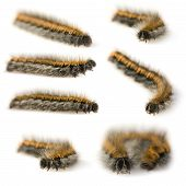 Hairy Caterpillar in front of a white background poster