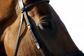 Bay horse's eye on the muzzle snaffle bridle. poster