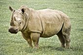 An Old Rhinoceros in green grass background poster
