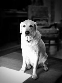A White Labrador Dog Stands In A Living Room In A Bright Sunbeam. Traditional High Contrast Black An