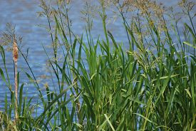 Tall Green Reeds With Water In The Background Reflecting A Deep Blue Sky. Taken At Rspb Reserve, Bur