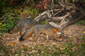 Pair Of Grey Fox (urocyon Cinereoargenteus) Walks Right - Captive Animals