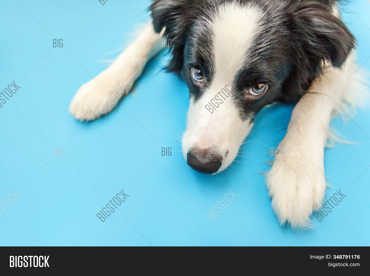 Funny Studio Portrait Of Cute Smilling Puppy Dog Border Collie Isolated On Blue Background. New Love