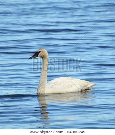 One Trumpeter Swan (cygnus Buccinator)