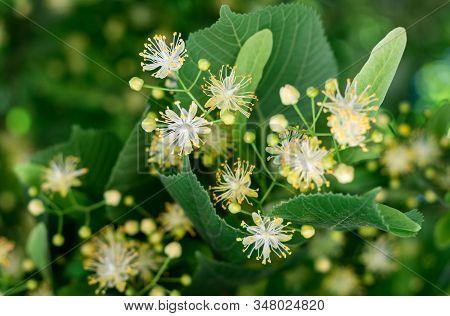 Linden Blossom. Linden Flowers Among Green Leaves