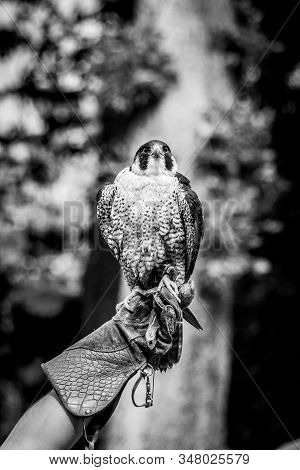 A Black And White Portrait Of A Peregrine Falcon Sitting On A Leather Glove Of A Falconer. Falconry
