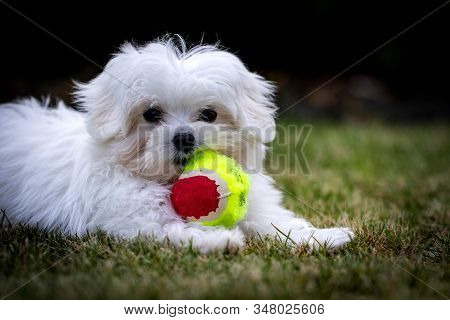 A Portrait Of A Small Young White Boomer Puppy. The Dog Is Playing With Its Toy Ball In The Grass On