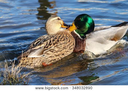 A Male And Female Mallard Duck Seizing Hold Of Each Others Feathers