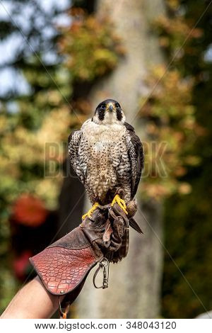 A Portrait Of A Peregrine Falcon Sitting On A Falconers Glove During A Bird Show About Falconry.