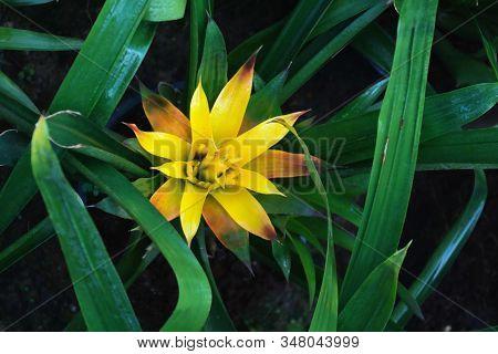 Yellow Guzmania Lingulata In Green Leaves, Top View