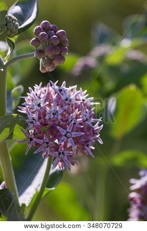 Clusters Of Light Pink Blooms Of The Showy Milkweed Plant In The Bright Afternoon Sunshine At Devils