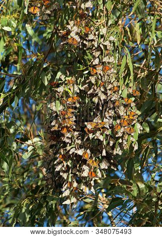 Monarch Butterflies Clustered Together In A Eucalyptus Tree. The Monarch Butterfly May Be The Most F