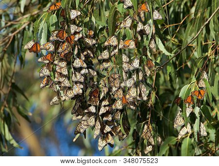 Monarch Butterflies In A Eucalyptus Tree. The Monarch Butterfly May Be The Most Familiar North Ameri