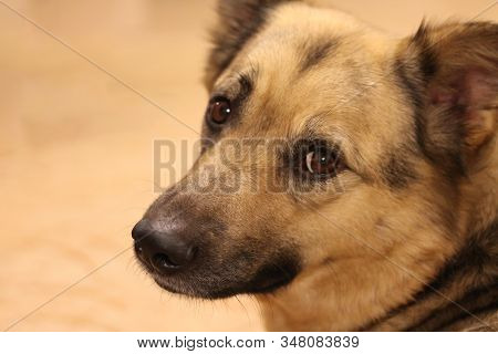 Mixed Breed Dog Portrait At Home. Domestic Animal Lookinfg At Camera With Smart Brown Eyes. Drop Or