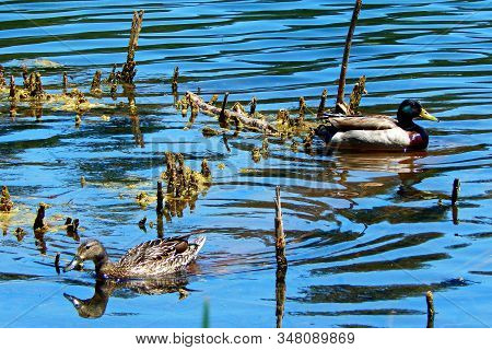 Mr. And Mrs. Duck - Mallard Ducks In The Water At Walton Lake - Ochoco Mountains - Northeast Of Prin