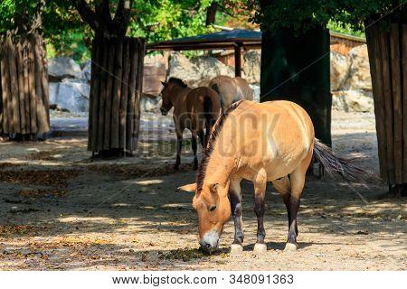 Przewalski Wild Horses In A Paddock. Przewalski's Horse (equus Przewalskii Or Equus Ferus Przewalski
