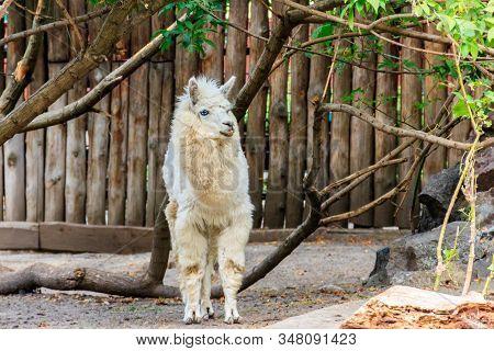 White Alpaca (vicugna Pacos) On A Farmyard