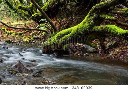 Mossy Tree On A Stream At Sugarloaf Ridge State Park, Sonoma County, California