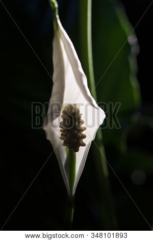 Peace Lily  Blossom. Close Up Of A Spathiphyllum. Macro Photography Backlight.