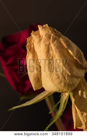 Wilted Yellow Rose Flowers. Faded Dry Flower With Red Rose On Brown Background