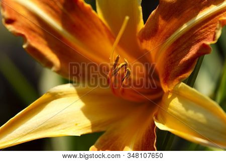 Blurred Natural Background. Texture Of Orange Daylily Petals. Orange With Yellow Daylily Flower On G