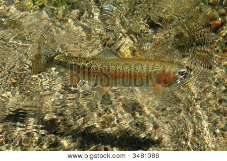 Free Swimming Rocky Mountain Rainbow Trout