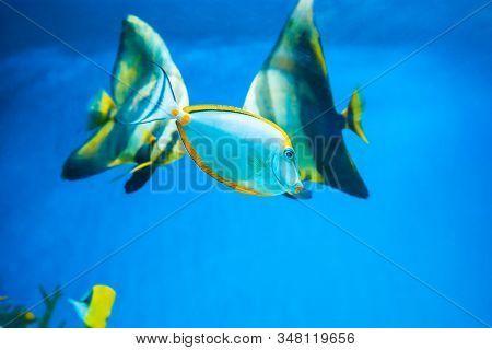 Tropical blue fish Acanthurus Leucosternon surgeonfish and angelfish in aquarium as nature underwate