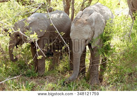 Two young African elephants in woods