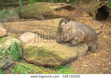 A Wombat, Vombatus Ursinus, Walks In The Wilderness In Tasmania Scenery Outside. The Wombat Is A Her