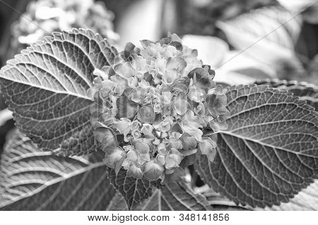 Blossoming Season. Hydrangea Blossom On Sunny Day. Flower In Blossom. Delicate Pink Blossom On Natur