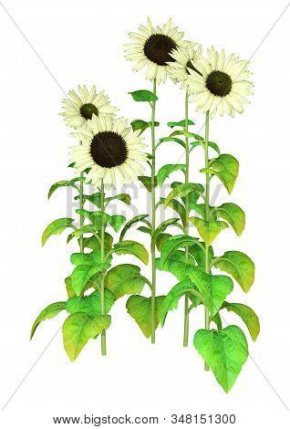 3D Rendering Sunflower Plants On White