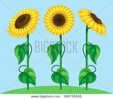 Sunflower Set. Floral Background. Sunflowers With Seeds. Garden. Organic Plant. Sunflower In Differe
