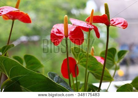 Small Garden In The Balcony Of Apartment With Red Anthurium And Green Leaves. Home Decoration (anthu