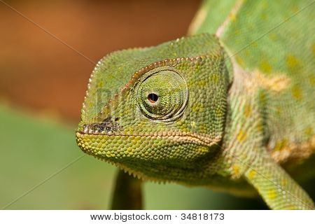 Adult Green Cameleon