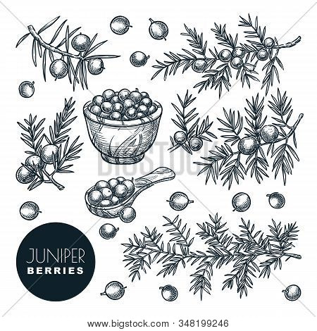Juniper Berries On Branch And In Wooden Basket, Sketch Vector Illustration. Spice, Aromatherapy, Nat
