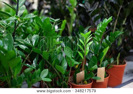Zamioculcas Plant Leaves Close Up. Zamioculcas Home Plants In Large Pots. The Concept Of Home Garden