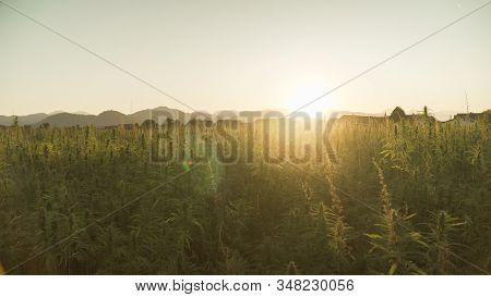 Marijuana Plants At Outdoor Cannabis Farm Field. Hemp Plants Used For Cbd And Health In Sunset